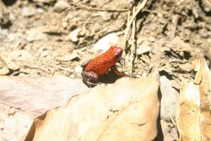 Red grenouillette
